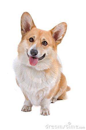 Free Welsh Corgi Pembroke Dog Stock Photography - 14316702