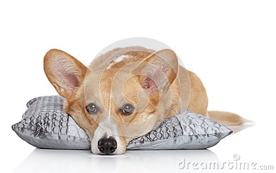 Welsh corgi Pembroke on a soft pillow