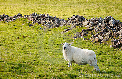 Welsh lamb in verdant meadow