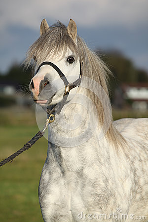 Welsh mountain pony with halter