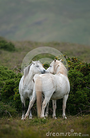 Welsh Moutain Ponies