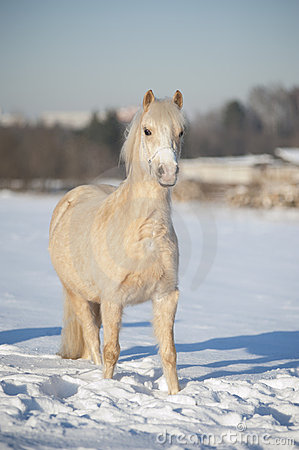 Welsh palomino pony