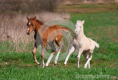 Welsh pony foals play