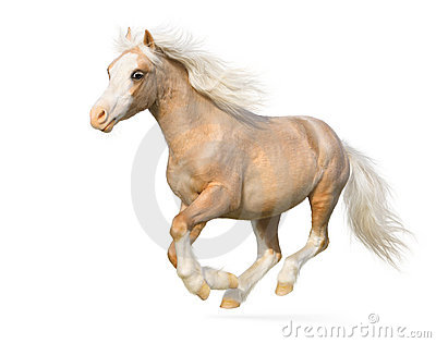 Welsh pony gallops