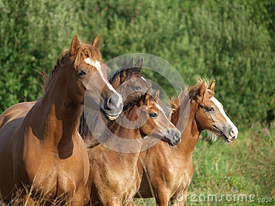 Welsh Pony Herd