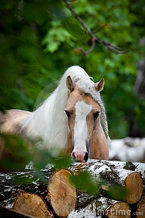 Free Welsh Pony In Forest Royalty Free Stock Images - 24176439