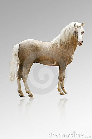 Welsh pony isolated on grey