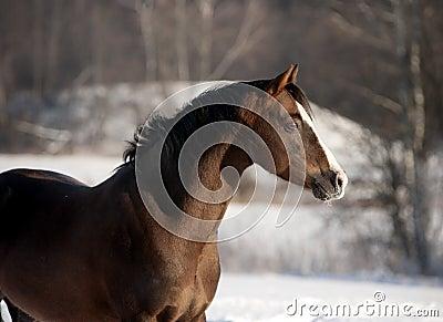 Welsh pony portrait