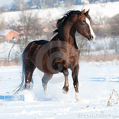 Welsh pony stallion playing in winter