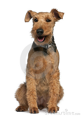 Welsh Terrier, 6 years old, sitting