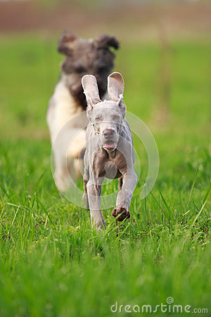 Wemaraner puppy dog