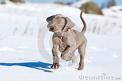 Wemaraner puppy