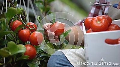 Werknemers die verse tomaten oogsten, biolandbouwtechnologie, landbouwbedrijf stock videobeelden
