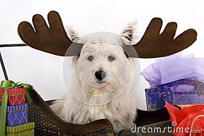 Wesite the black-nosed reindeer
