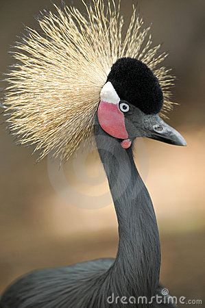 West african crowned crane three quarter length