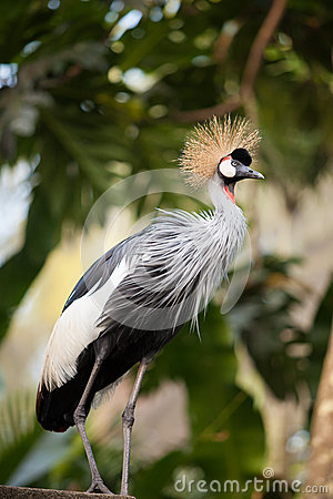 Free West African Grey Crowned Crane Stock Images - 41583854