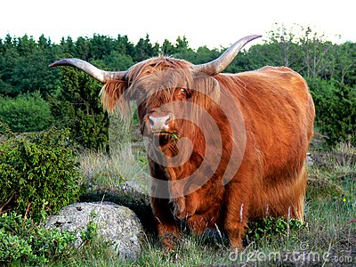 West Highland Cattle eating Grass