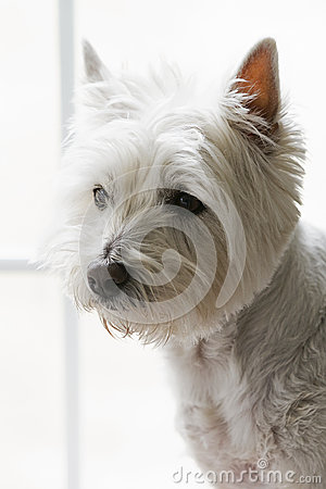 Free West Highland Terrier Stock Photos - 39954653
