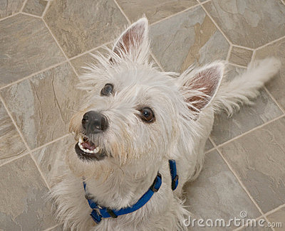 West Highland Terrier Dog Anticipating a Treat