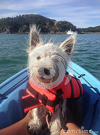 Free West Highland Terrier On Kayak In Lifejacket Stock Photo - 74034580