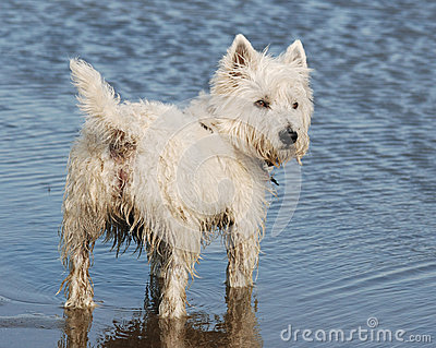 West highland Terrier (westie).