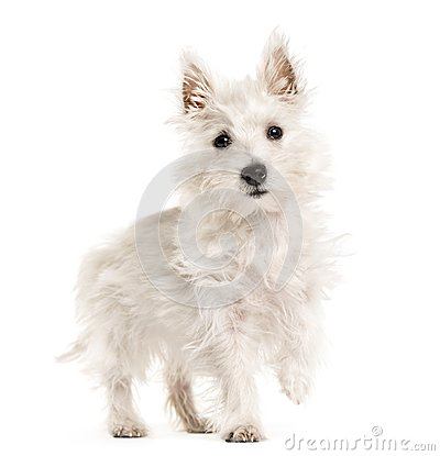 Free West Highland White Terrie Dog, Westie, Walking , Isolated On Wh Stock Photography - 105770622