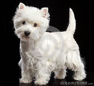 Free West Highland White Terrier Dog  Isolated  On Black Background Royalty Free Stock Photo - 117065965