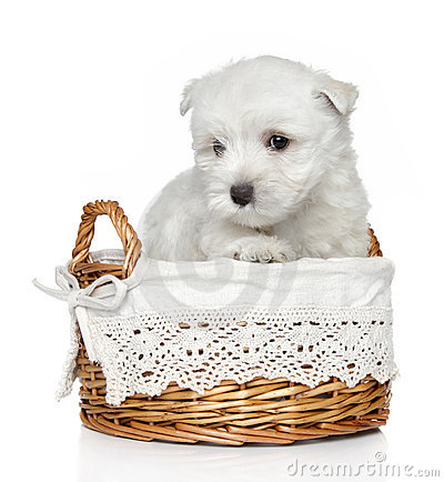 West Highland White Terrier puppy (1 month)