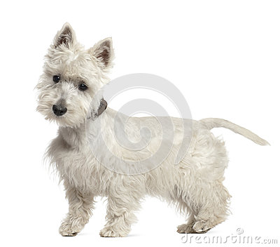 West Highland White Terrier puppy, 6 months old