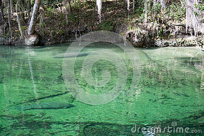 West Indian Manatee, Blue Spring, Florida, USA