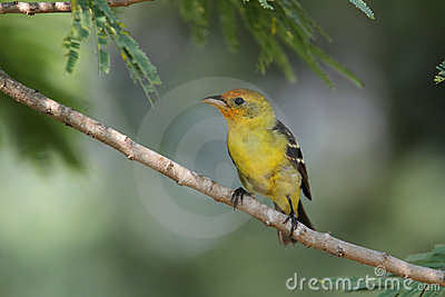 Wester Tanager