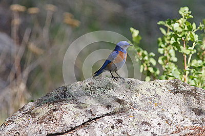 Western bluebird on a rock