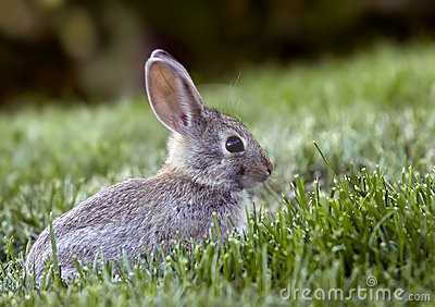 Lapin De Lapin Occidental De Balai Photographie stock - Image: 15698212
