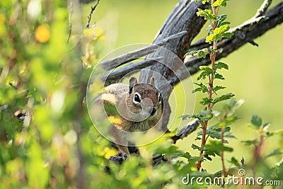 Western Chipmunk in a Tree