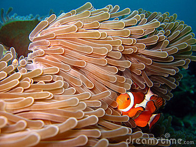 Western Clown-anemonefish