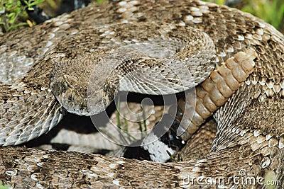 Stock Images: Western Diamondback Rattlesnake. Image: 1
