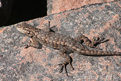 Western Fence Lizard (Sceloporus occidentalis)