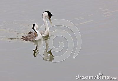 Western Grebe on Lake