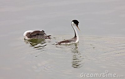 Western Grebe on Lake