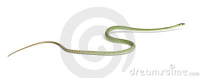Western green mamba - Dendroaspis viridis