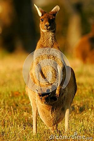 Free Western Grey Kangaroo Royalty Free Stock Images - 4427939