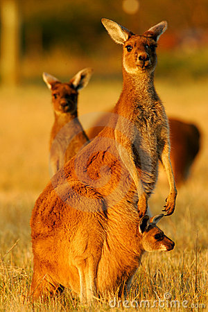 Free Western Grey Kangaroo Royalty Free Stock Photo - 4427965