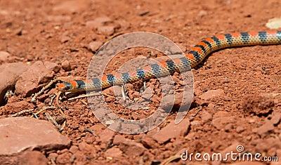 Western Ground Snake