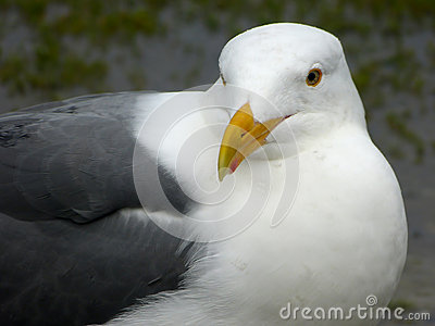 The Western Gull (Larus occidentalis)