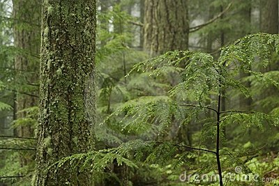 Western Hemlock Forest
