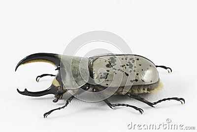 Western Hercules beetle