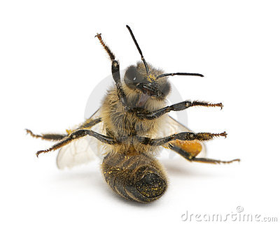 Western honey bee or European honey bee, Apis