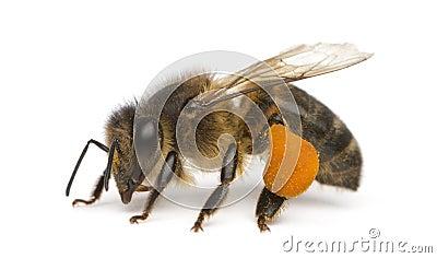 Western honey bee or European honey bee, Apis