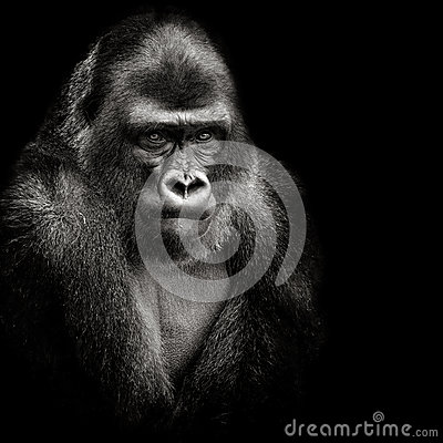 Free Western Lowland Gorilla Royalty Free Stock Images - 56949009