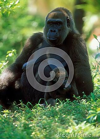 Free Western Lowland Gorilla (Gorilla Gorilla Gorilla), Africa Stock Photo - 454650
